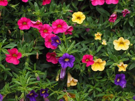 gambar menanam warna warni kuning berwarna merah muda