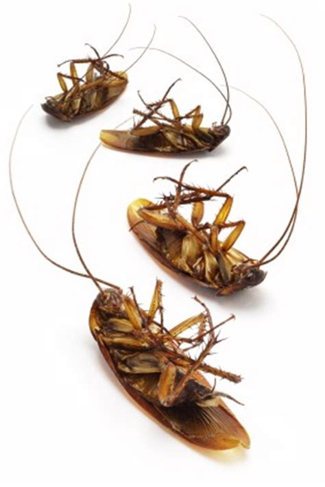 do cockroaches eat bed bugs cockroaches