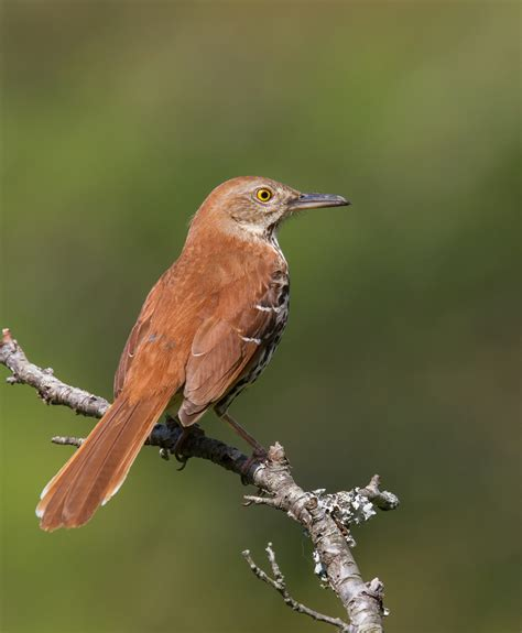 bird with colored beak brown thrasher roads end naturalist