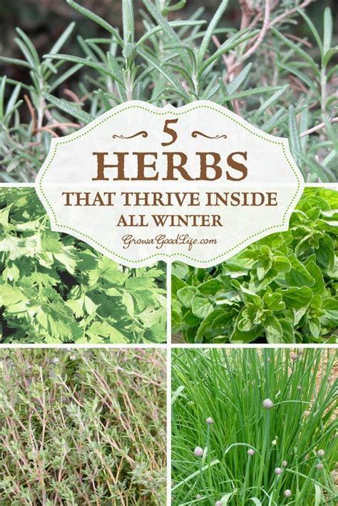 growing herbs inside grow herbs indoors 5 herbs that thrive inside krydderurter