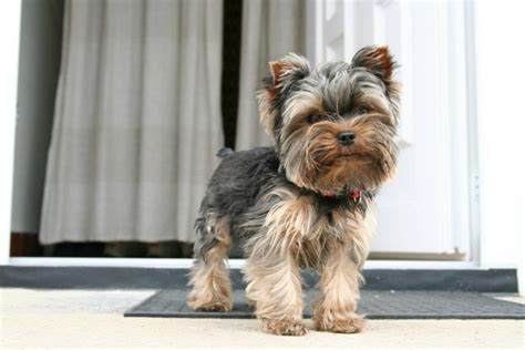 yorkie puppy cut instructions instructions on cutting a yorkie 17 best images about