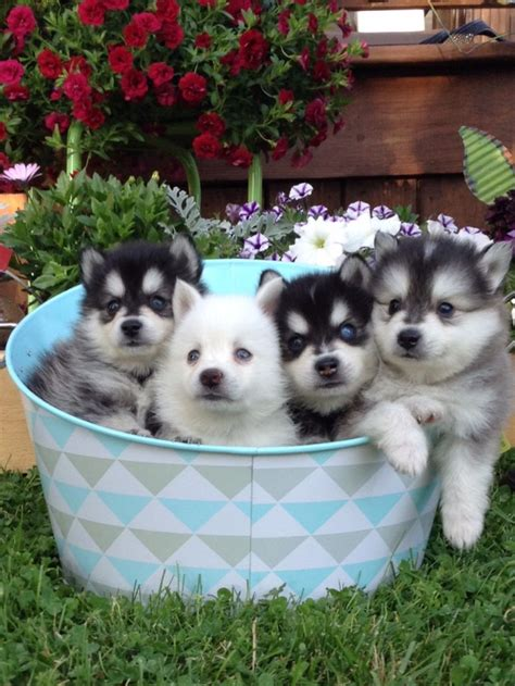 pictures of puppies lush pomsky puppies review wisconsin pomsky breeder pomsky pup