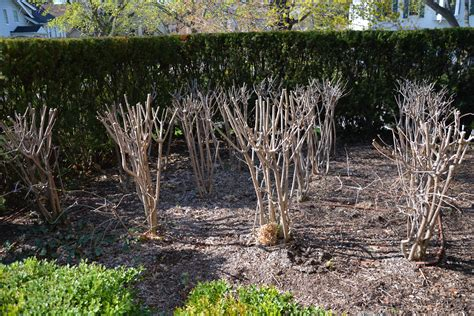 hydrangea annabelle pruning gallery