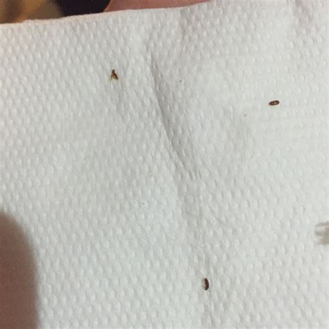isopropyl alcohol bed bugs isopropyl bed bugs 28 images does alcohol kill bed bugs fact or myth