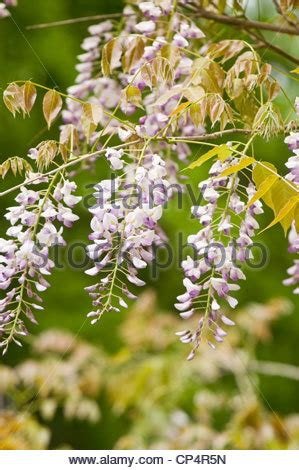 lilac climbing plant pale violet purple lilac pink flowers of wisteria climbing