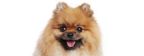 cani da appartamento di piccola taglia cani di taglia piccola a pelo lungo