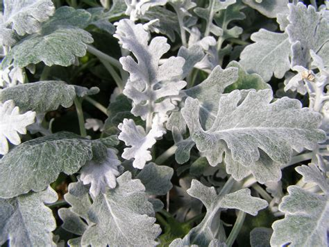 silver dust dusty miller
