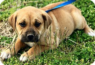 golden retriever mastiff mix puppies dawton adopted dg foster ri mastiff golden retriever mix