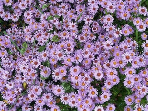 bear creek nursery perennial plant common names plant images a b
