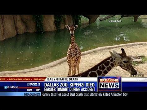 giraffe born at dallas zoo in april dies after breaking