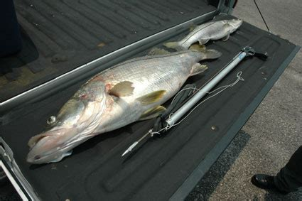 boats entering jupiter inlet stuck by the law after spearing snook florida sportsman