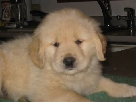 golden retriever puppies for sale in vermont golden retriever club vermont dogs our friends photo