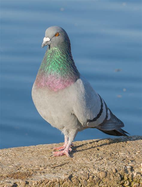 piccione wikiquote
