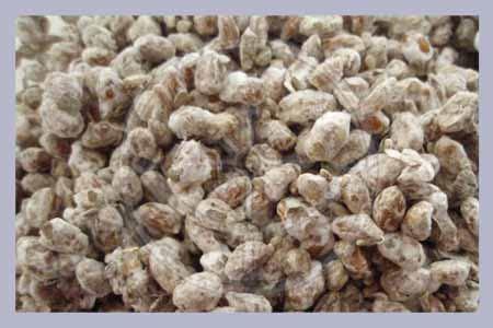 "black morel morchella angusticeps mushroom ""seeds spores"