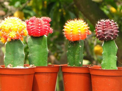 grafted cactus plants pictures to pin on pinterest pinsdaddy