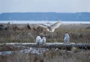 Barn Owl Facts Snowy Owl Owls And More Owls