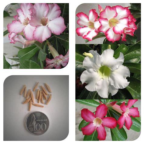 Bibit Bunga Adenium jual bibit benih biji bunga adenium obesum cur mix adenium obesum bali bibit bagus