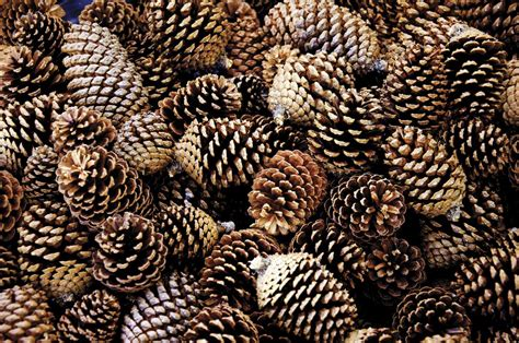 times of the islands dreams of pine cones aplenty