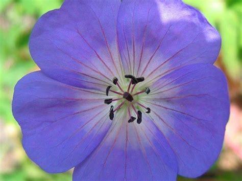 herbaceous perennials greenshutters garden centre