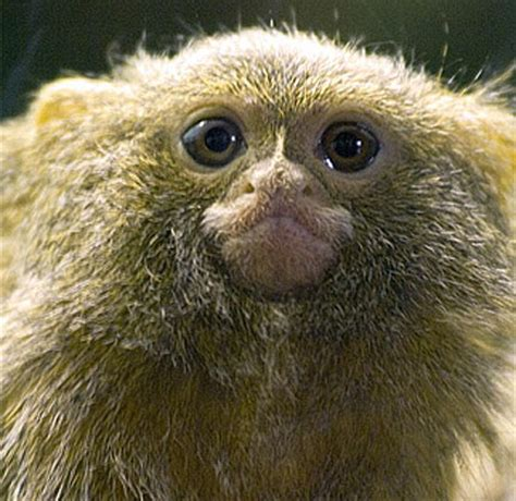 pygmy marmoset the smallest monkey | animal pictures and