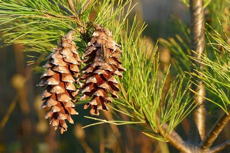 pine cone tree free photo pine cones pine tree pine tree free image