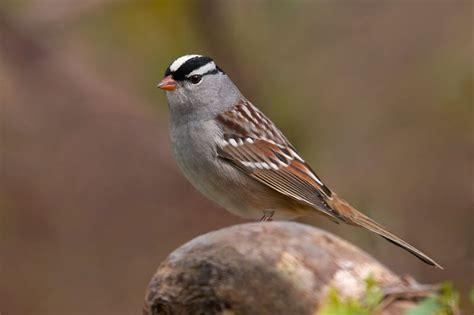 birds white crowned sparrow