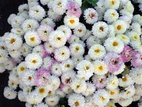 san carlino fiore i san carlini sono fiori molto discreti ed estremamente