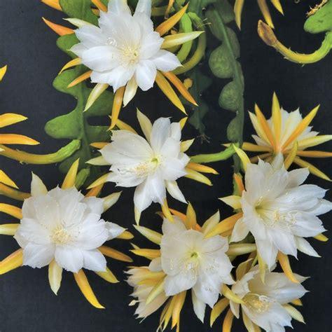 ric rac orchid cactus epiphyllum anguliger