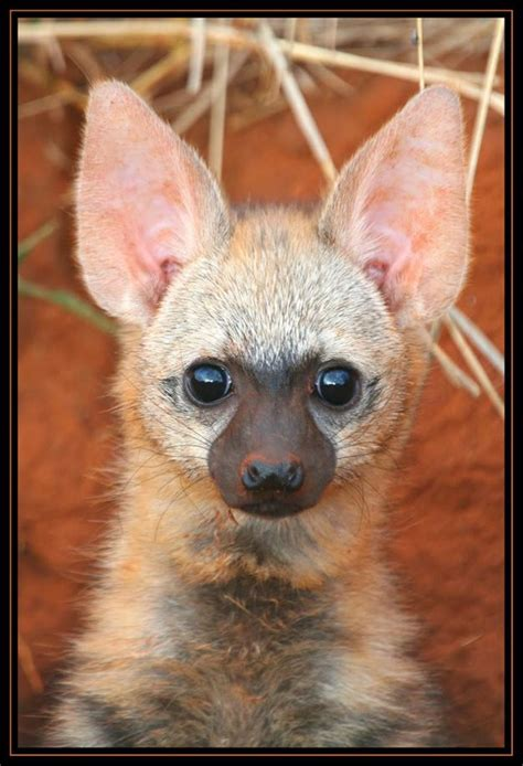 amazing animal babies 1405284285 15 best amazing aardwolves images on hyena wild dogs and animal babies