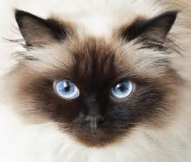 siamese cat colors himalayan cats are gorgeous