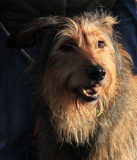 briard mix podengo portugues grande briard mix mixed breed dogs
