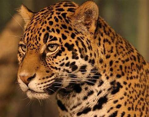 jaguar (panthera onca) animals a z animals