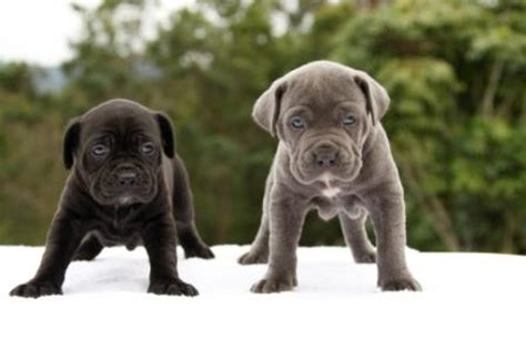 bandogge puppies for sale pin bandog puppies for sale uk on