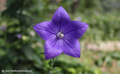 balloon flower pictures