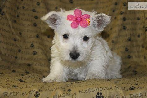 west highland terrier puppies for sale near me west highland white terrier westie puppy for sale near york pennsylvania 65d0eab7