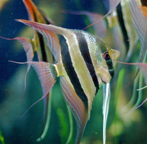 types of aquarium fish aquarium fish species by common name