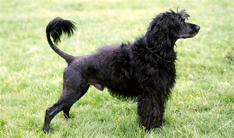portuguese water dogs portuguese water breed information