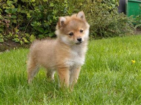 dwergkees puppies te koop, dwergkees puppies beschikbaar