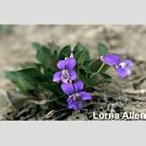 Purple Saxifrage | 1000 x 658 jpeg 104kB