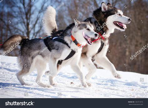 alaskan sled race two alaskan malamutes sled race stock photo 126751919