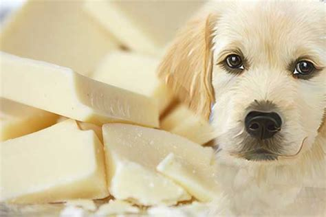 can dogs white chocolate can dogs eat white chocolate is it safer than milk chocolate or just as toxic