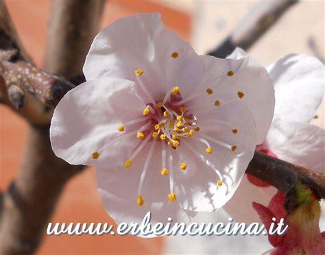 fiori di albicocco erbe in cucina fiore di albicocco