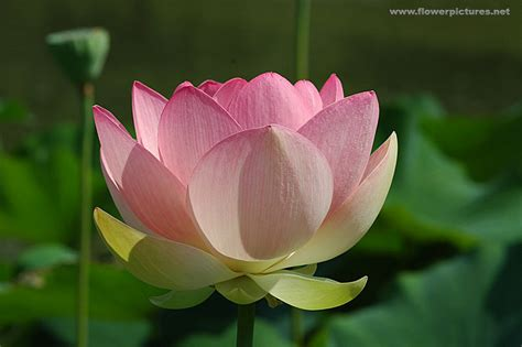 What Does A Lotus Flower Sacred Lotus Flower Picture