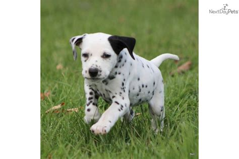 dalmatian puppies for sale michigan dalmatian puppy for sale near grand rapids michigan 535b00b9 7b41