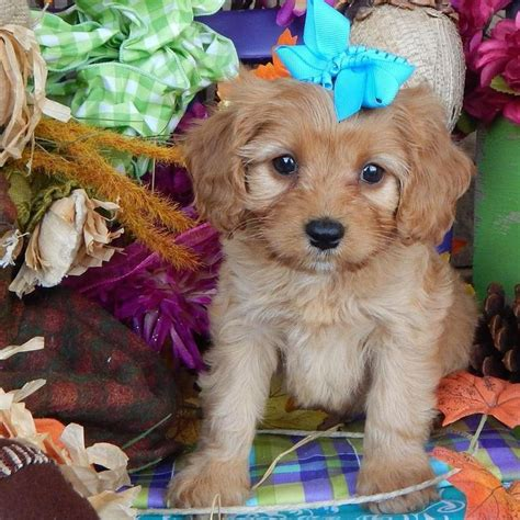 cavapoo puppies breeders best 25 cavapoo dogs ideas on