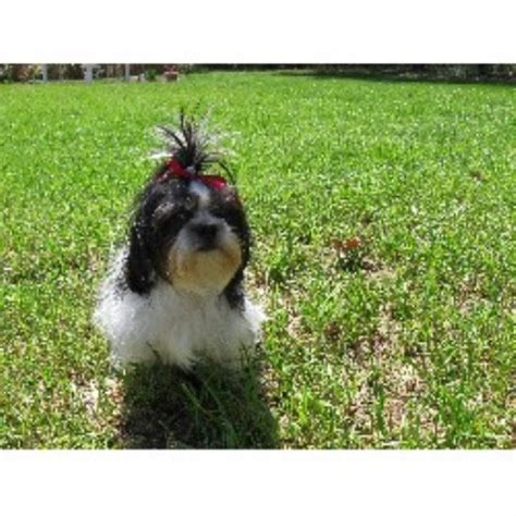 cheap yorkie puppies for sale in ga cheap shih tzu puppies for sale in