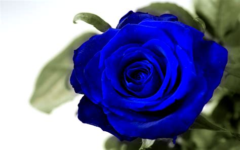 wallpaper android rose 5152 blue rose android wallpaper walops com