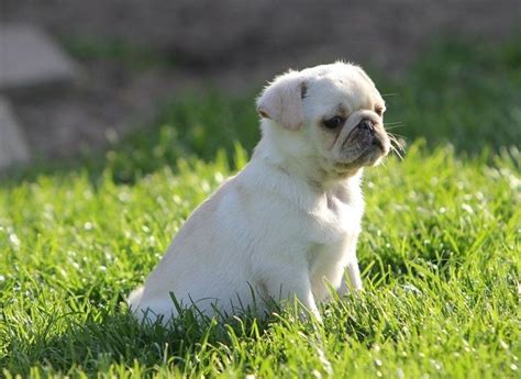 marshmellow the white pug puppy white pugs www pixshark images galleries with a bite