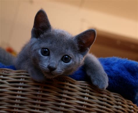 blue kittens for sale russian blue kittens for sale russian blue 2015