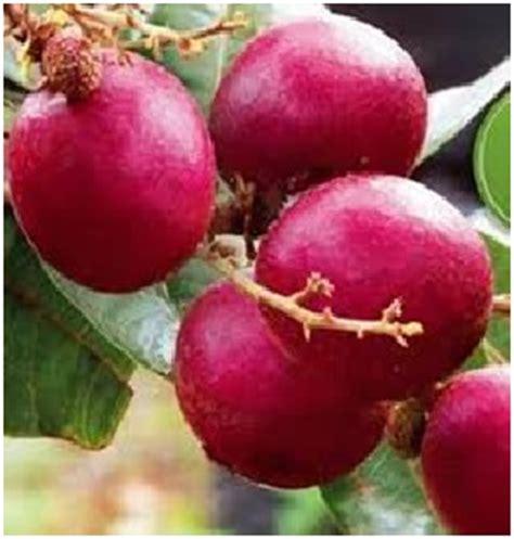 Bibit Lengkeng Merah jual jual bibit pohon lengkeng merah kelengkeng merah
